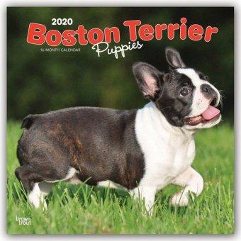 Boston Terrier Puppies - Boston Terrier Welpen 2020 - 18-Monatskalender mit freier DogDays-App