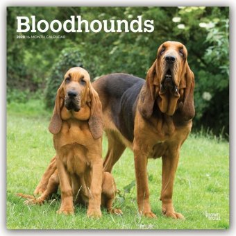 Bloodhounds - Bluthunde 2020 - 18-Monatskalender mit freier DogDays-App